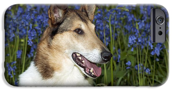 Dog Close-up iPhone Cases - Smooth Collie In Bluebells iPhone Case by John Daniels