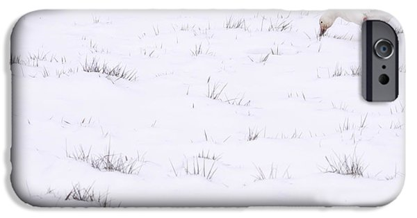 Local Attraction iPhone Cases - Snow Goose During Migration iPhone Case by Jim Corwin