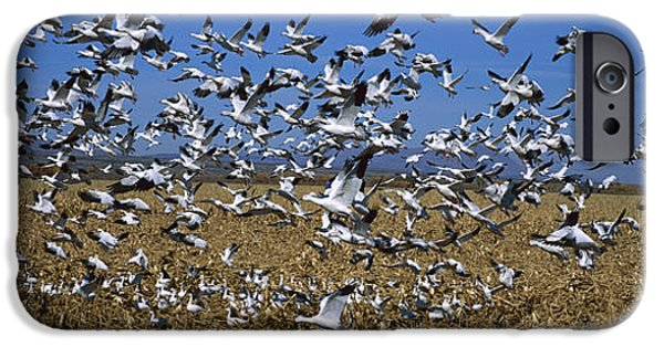 Animals Photographs iPhone Cases - Snow Goose Flock Taking Off iPhone Case by Konrad Wothe