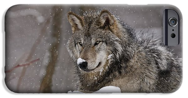 Loup Photos iPhone Cases - Snow Nose iPhone Case by Wolves Only