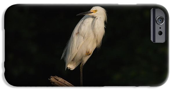 Snowy Egret iPhone Cases - Snowy Egret II iPhone Case by Heidi Piccerelli