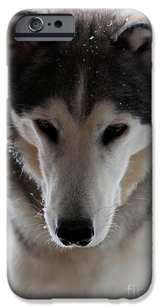 Husky iPhone Cases - Snowy Husky Nanuk iPhone Case by Marjorie Imbeau