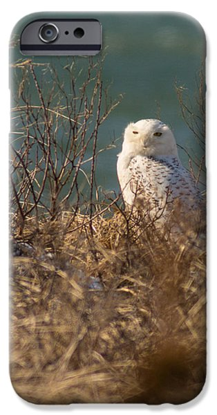 Mashpee iPhone Cases - Snowy Owl at the Beach iPhone Case by Allan Morrison