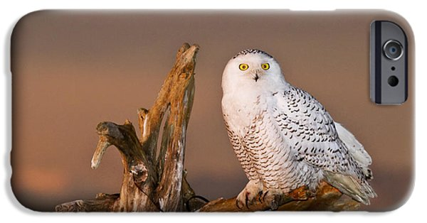 Nature Abstracts iPhone Cases - Snowy Owl iPhone Case by Quynh  Ton