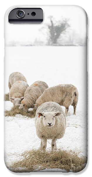 Snowy Sheep iPhone Case by Anne Gilbert