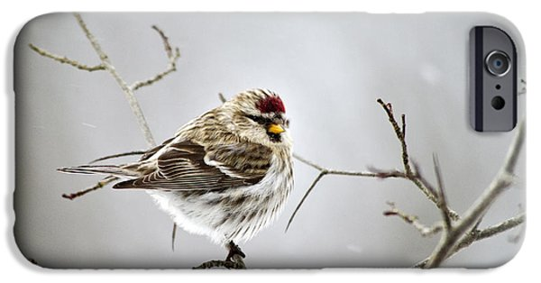 Snowy Scene iPhone Cases - Solitary Redpoll iPhone Case by Christina Rollo