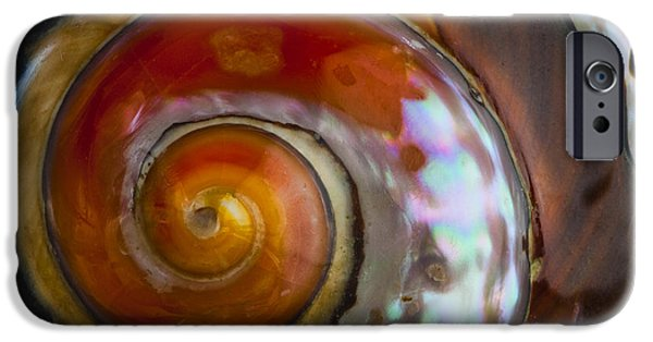 Carol Leigh iPhone Cases - South African Turban Shell iPhone Case by Carol Leigh