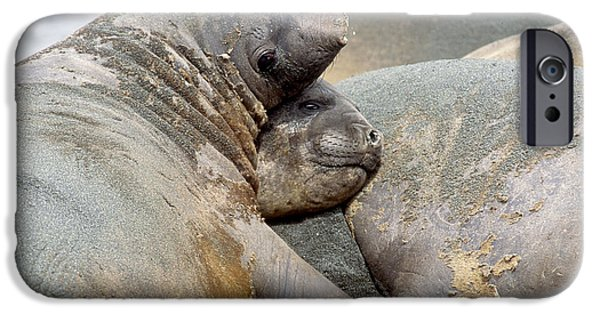 Ocean Mammals iPhone Cases - Southern Elephant Seals iPhone Case by Art Wolfe