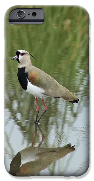 Lapwing iPhone Cases - Southern Lapwing in Shallow Water iPhone Case by Robert Hamm