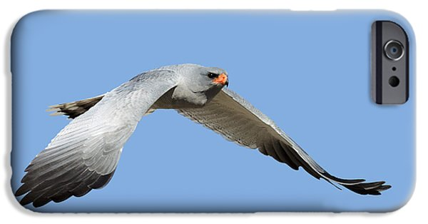 Wild Animals Photographs iPhone Cases - Southern Pale Chanting Goshawk in flight iPhone Case by Johan Swanepoel