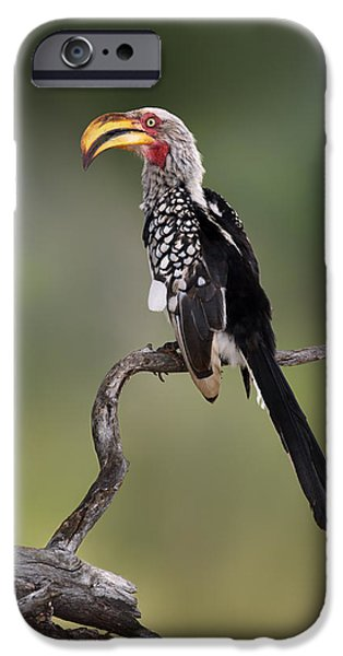 Watching iPhone Cases - Southern Yellowbilled Hornbill iPhone Case by Johan Swanepoel