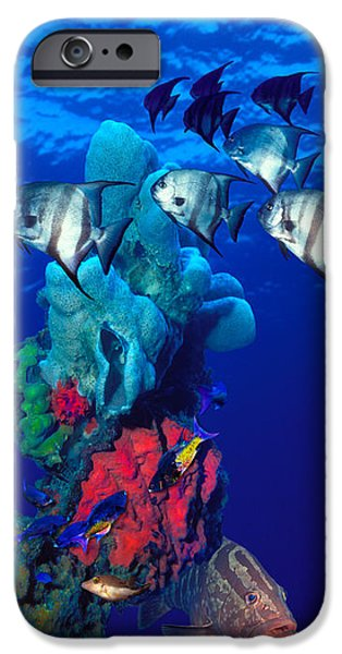 Animal Themes iPhone Cases - Spadefishes With Nassau Grouper iPhone Case by Panoramic Images