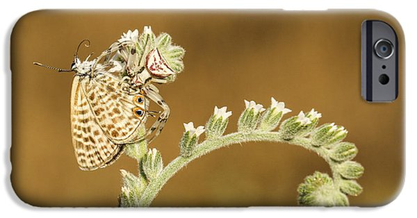 Butterfly Prey iPhone Cases - Spider feeds on a butterfly 3  iPhone Case by Alon Meir