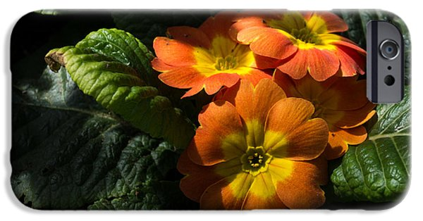 Limelight iPhone Cases - Spotlight on Spring Primula Blooms iPhone Case by Georgia Mizuleva