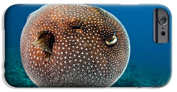 Mechanism iPhone Cases - Spotted Pufferfish iPhone Case by David Fleetham