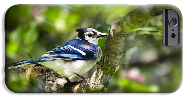 Bluejay iPhone Cases - Spring Blue Jay iPhone Case by Christina Rollo