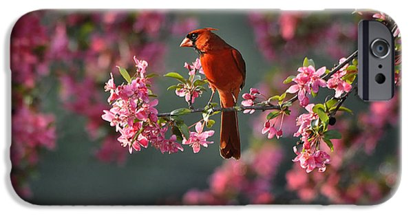 3.14 iPhone Cases - Spring Morning Cardinal iPhone Case by Nava  Thompson