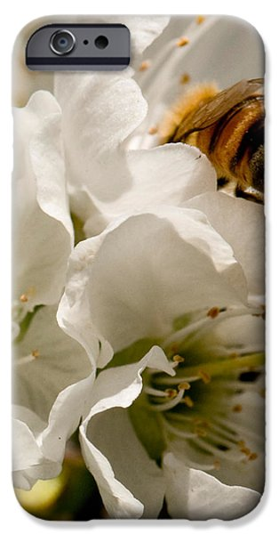 Spring Time Cherry Blossoms iPhone Case by Artist and Photographer Laura Wrede