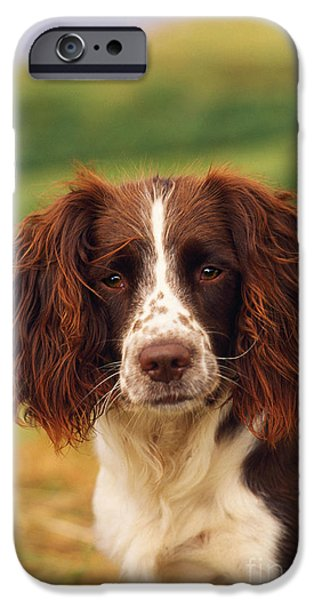 Dog Close-up iPhone Cases - Springer Spaniel iPhone Case by James Marchington