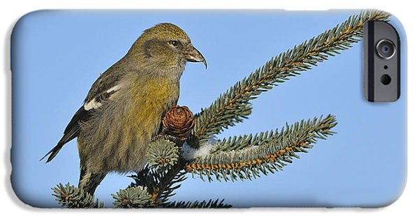 Crossbill iPhone Cases - Spruce Cone Feeder iPhone Case by Tony Beck