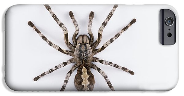 Arachnida iPhone Cases - Sri Lanka Ornamental Tarantula iPhone Case by Barbara Strnadova
