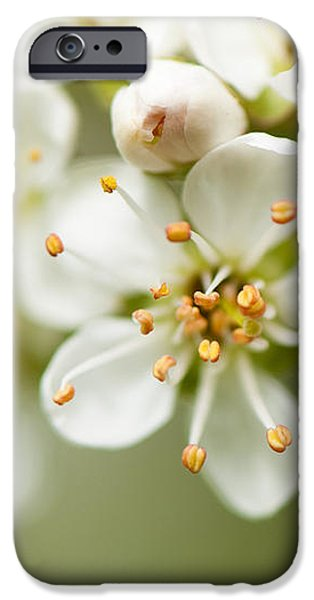 St Lucie Cherry Blossom iPhone Case by Anne Gilbert