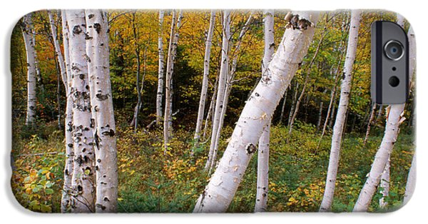 Park Scene iPhone Cases - Stand Of White Birch Trees iPhone Case by Panoramic Images