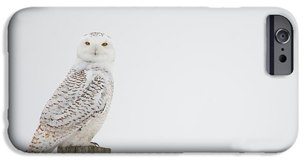 Freedom iPhone Cases - Staring Snowy Owl iPhone Case by Cheryl Baxter