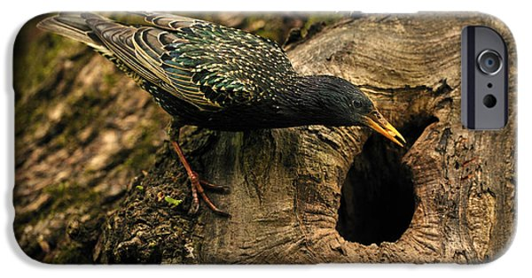 Feeding Young iPhone Cases - Starling Feeding Chicks iPhone Case by Reiner Bernhardt