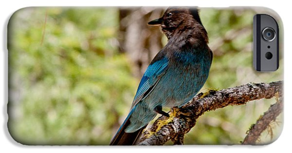 Stellar iPhone Cases - Stellar Jay iPhone Case by Bill Gallagher