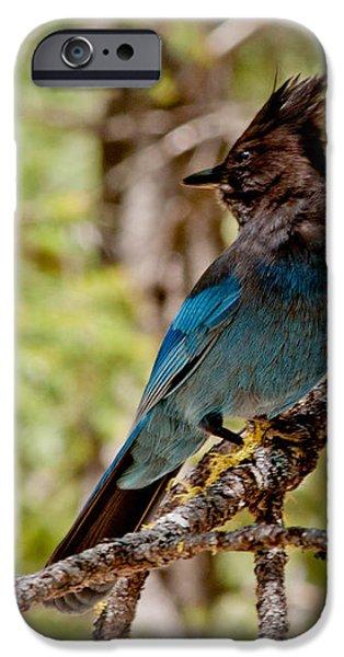 Stellar Jay iPhone Case by Bill Gallagher