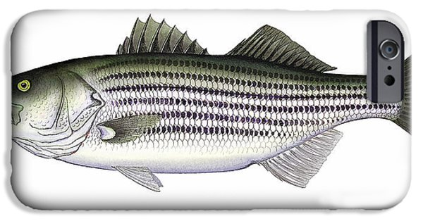 Maine iPhone Cases - Striped Bass iPhone Case by Charles Harden