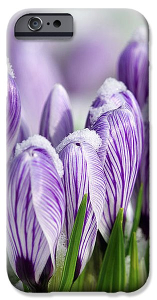 Striped Purple Crocuses in the Snow iPhone Case by Sharon  Talson