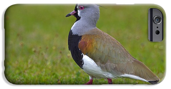 Lapwing iPhone Cases - Strutting Lapwing iPhone Case by Tony Beck