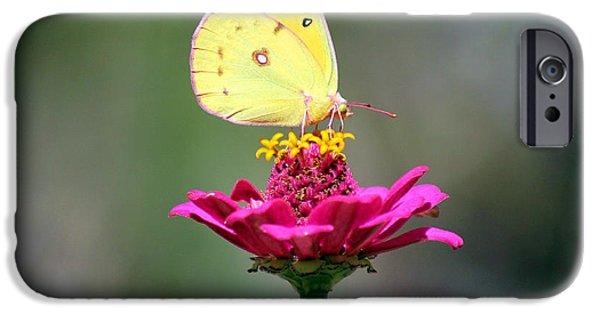 Fauna iPhone Cases - Sulphur Butterfly on Pink Zinnia iPhone Case by Karen Adams