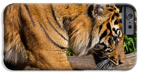 Eye Of The Tiger iPhone Cases - Sumatran Tiger 7D9092 iPhone Case by Wingsdomain Art and Photography