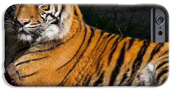 Eye Of The Tiger iPhone Cases - Sumatran Tiger 7D9105 iPhone Case by Wingsdomain Art and Photography