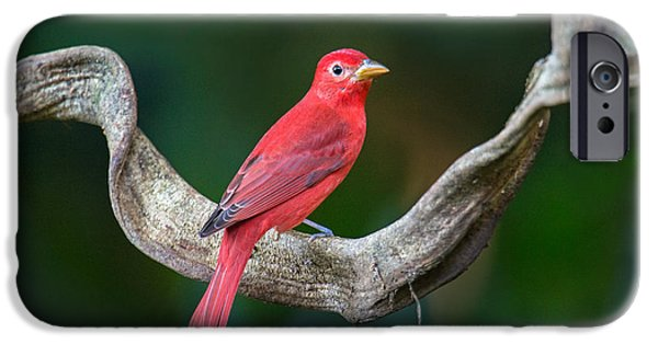 Birds iPhone Cases - Summer Tanager Piranga Rubra Perching iPhone Case by Panoramic Images