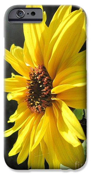Girasol iPhone Cases - Sunflower 1 iPhone Case by John Clark