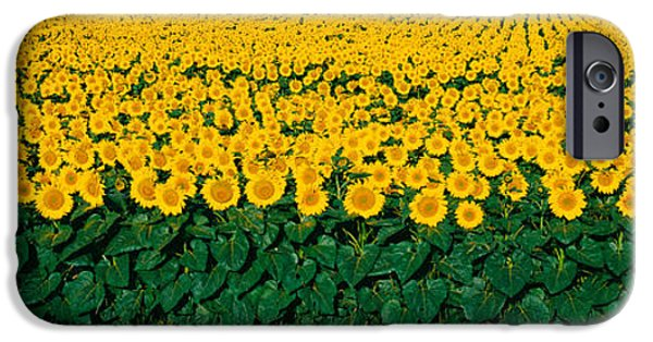 Recently Sold -  - Crops iPhone Cases - Sunflower Field, Maryland, Usa iPhone Case by Panoramic Images