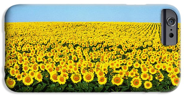 Sunflower Field iPhone Cases - Sunflower Field, North Dakota, Usa iPhone Case by Panoramic Images