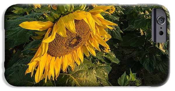 Sunflower Fields iPhone Cases - Sunflower Field iPhone Case by Steve Gadomski