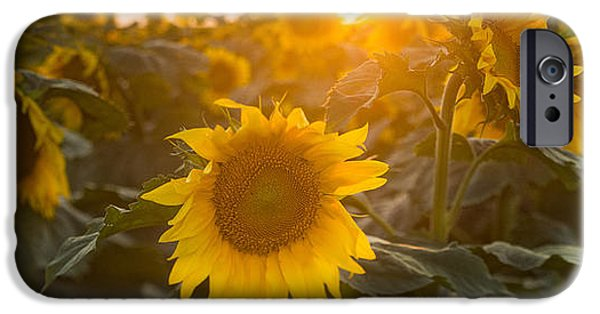 Sunflower Fields iPhone Cases - Sunflower Flare iPhone Case by Steve Gadomski