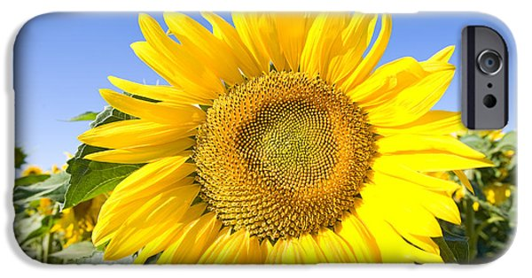 World Destination iPhone Cases - Sunflower, French Provence iPhone Case by Adam Sylvester