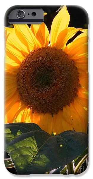 Girasol iPhone Cases - Sunflower - Golden Glory iPhone Case by Janine Riley