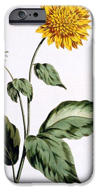 Botanical iPhone Cases - Sunflower iPhone Case by John Edwards