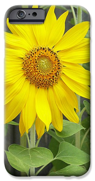 Sunflower iPhone Case by Lisa  Phillips