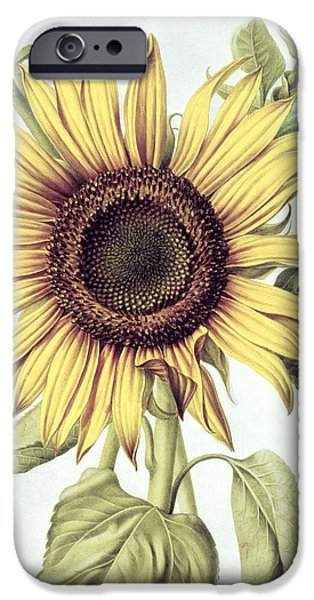 Colorful Sunflower iPhone Cases - Sunflower iPhone Case by Nicolas Robert