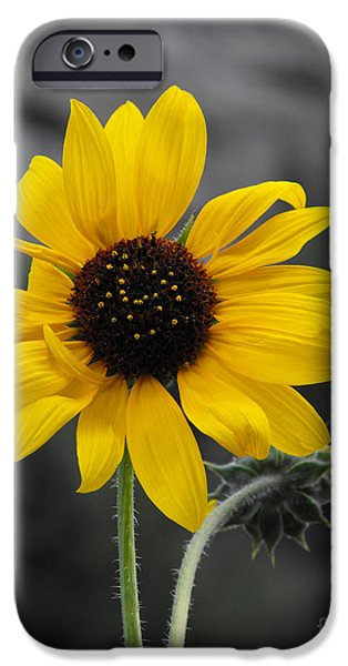 Sunflower Photograph iPhone Cases - Sunflower on gray iPhone Case by Rebecca Margraf