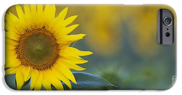 Sunflowers Photographs iPhone Cases - Sunflower Panoramic iPhone Case by Tim Gainey